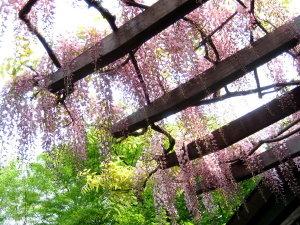 藤花 ~wistaria~