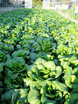 大きな茎の広島菜畑