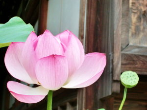 東京・深大寺☆鬼燈(ほおずき)市-はすの花