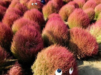国営ひたち海浜公園<ほうき草-モコモコくん>